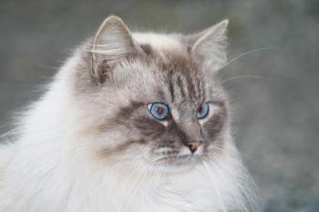 Au Haras nous élevons aussi des chats !